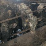 Grana Padano: condizioni shock negli allevamenti